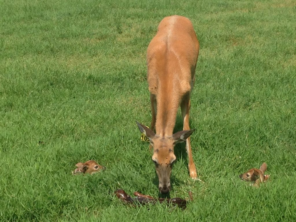 fawns born at oregon dairy
