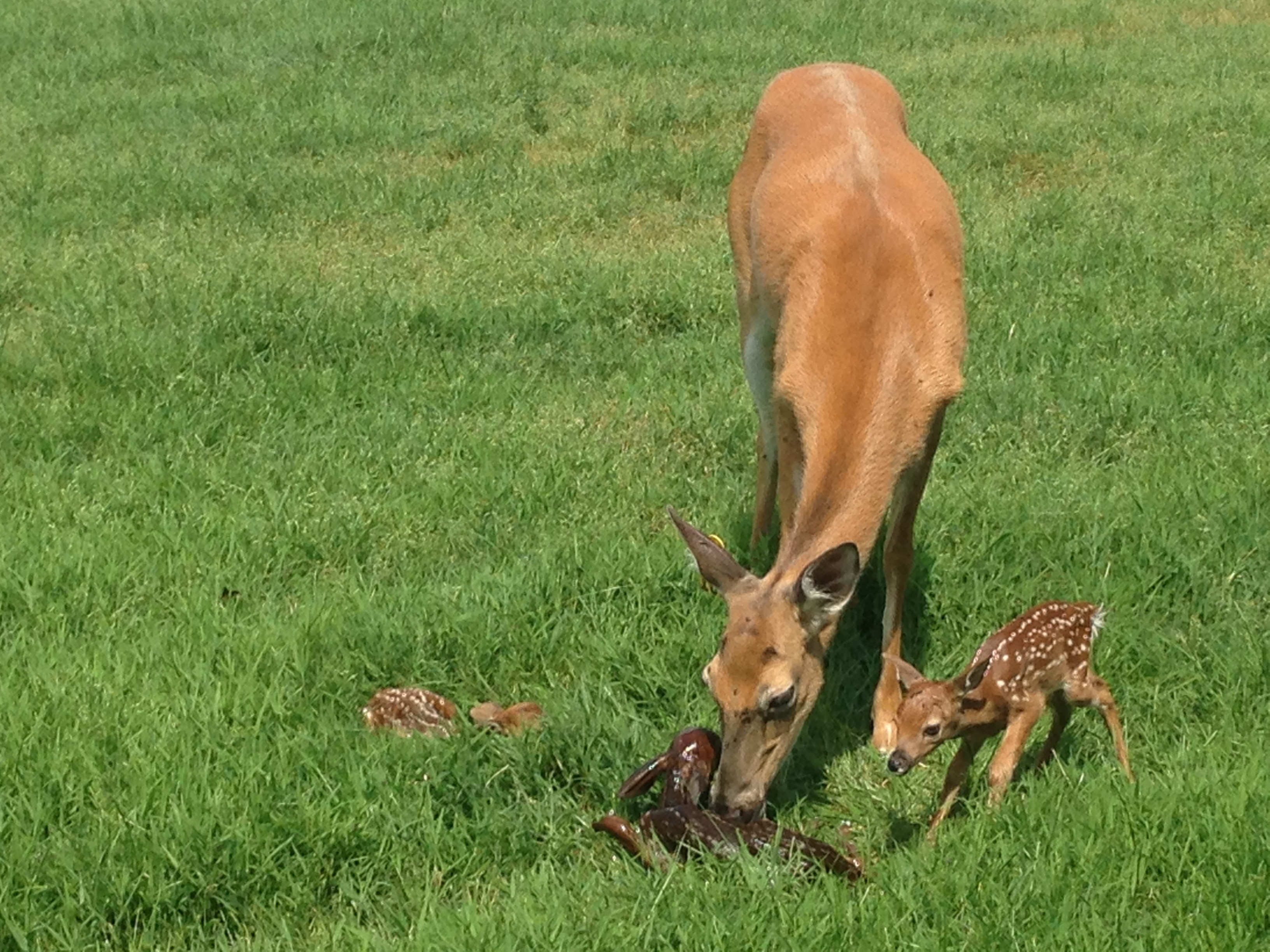 To Our Surprise . . . We Saw Three Fawns Being Born at Oregon Dairy this morning!!!