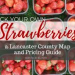 Pick Your Own Strawberries in Lancaster County