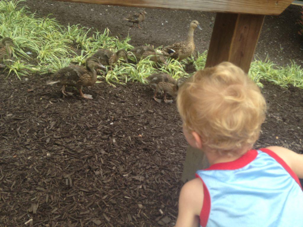 baby ducklings at dutch wonderland