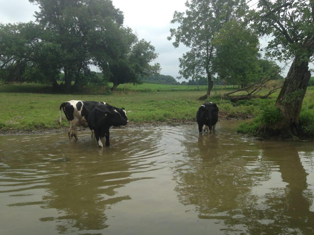 cows in river at dutch wonderland